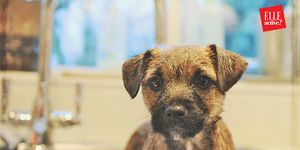 Border Terrier Puppy Having a Bath