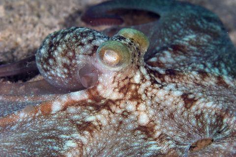 Caribbean reef octopus (Octopus briareus), Cancun, Mexico, Caribbean Sea