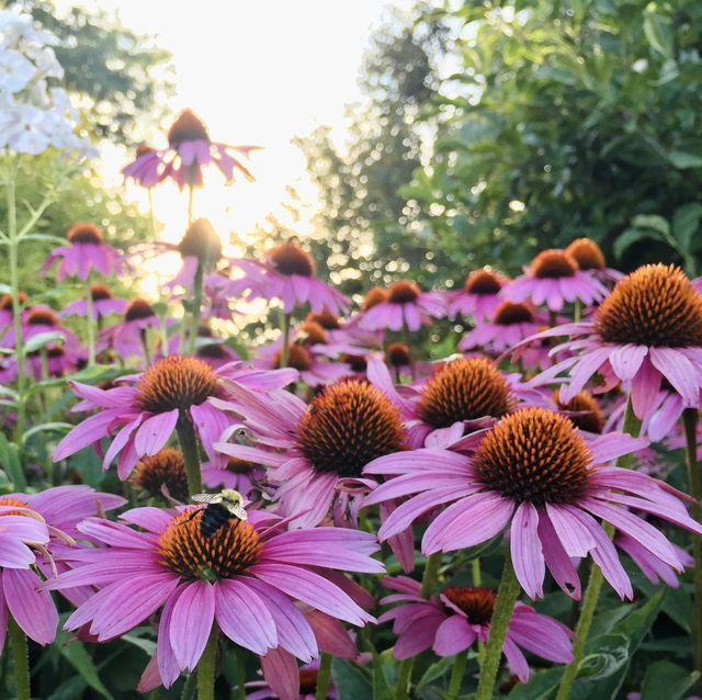 carpenter bees on purple cone flowers in laconia, new hampshire usa