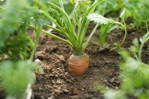 carotte poussant dans le potager