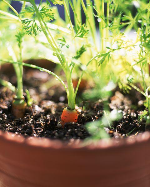carrots growing in pot