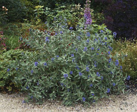 Caryopteris (Bluebeard) growing in formal garden
