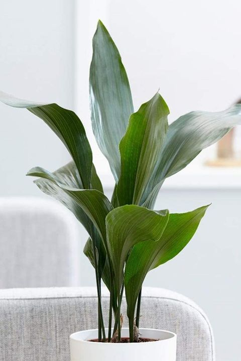 long tall green plant leaves with stems in a white pot next to a gray couch