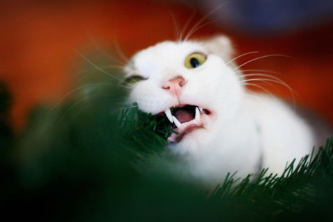 cat eating a christmas tree branch