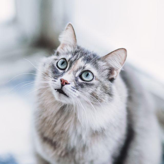 Face of Gray long hair domestic Cat