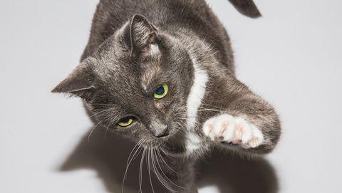 cat scratch, cat scratching, cat claws,  playful cat, cat claw, cat paw, cat on white, cat on white background, domestic cat, cat care