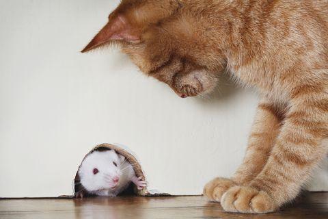 Gato de pie sobre el ratón que sobresale del agujero del ratón