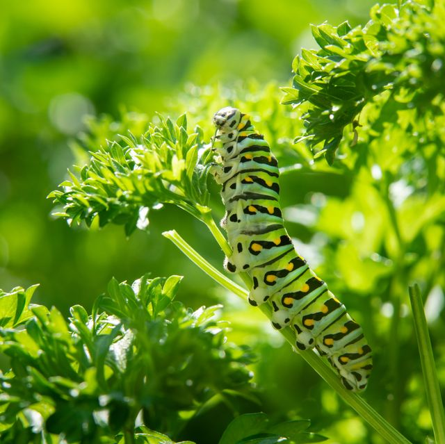let caterpillars nibble your leaves to create a healthier garden, says the rhs