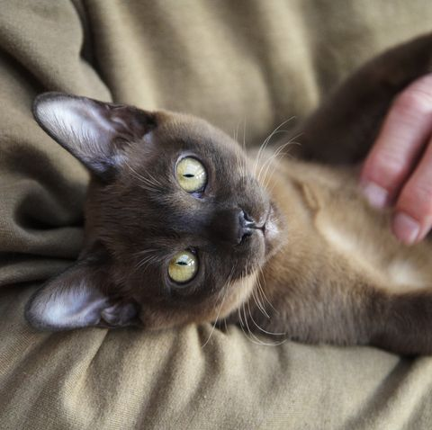 cats-that-act-like-dogs-burmese
