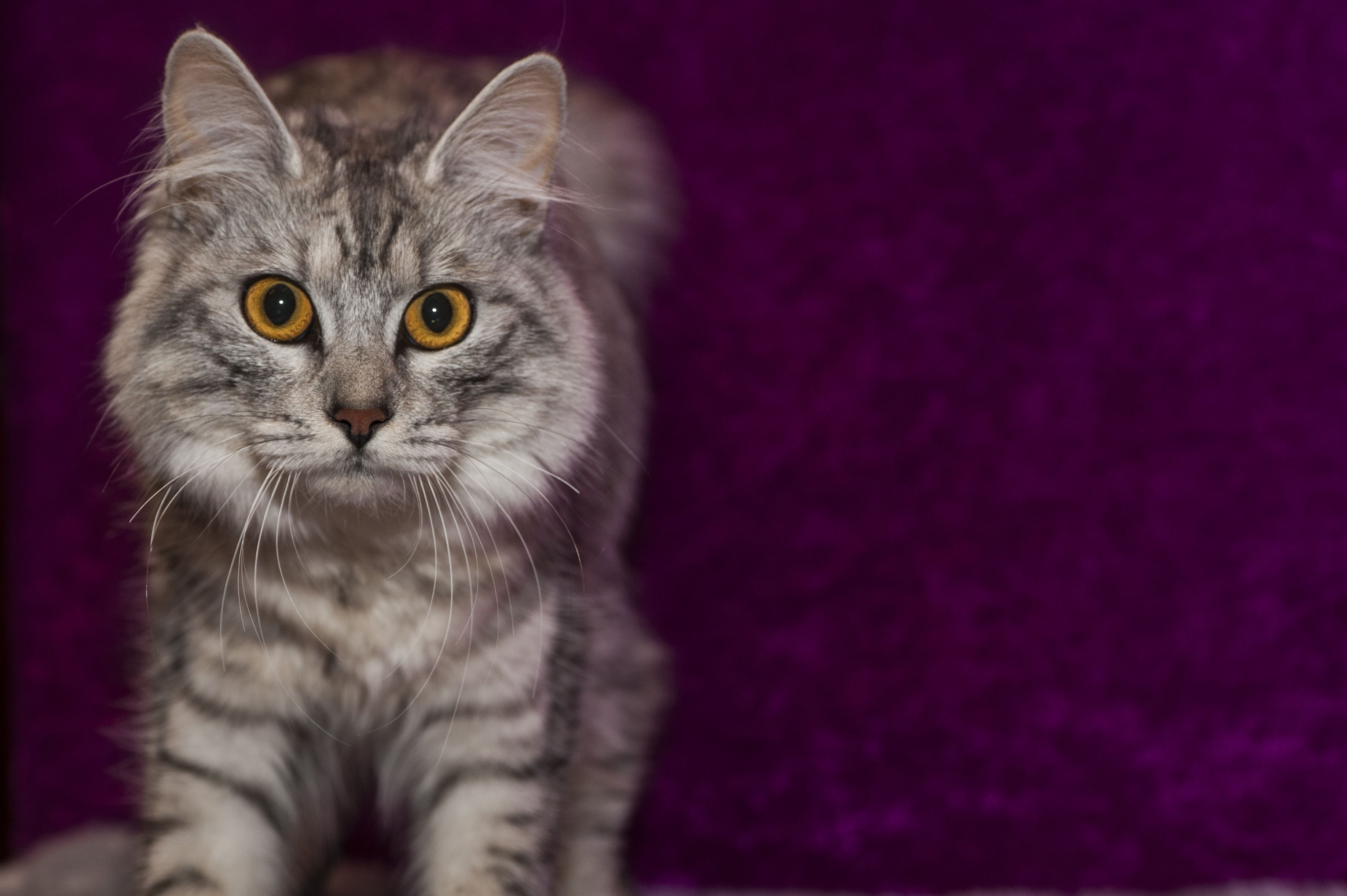 9 Cats That Act Like Dogs: Abyssinian, Ragdoll, Maine Coon