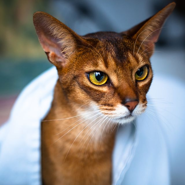 cats-that-like-water_Abyssinian