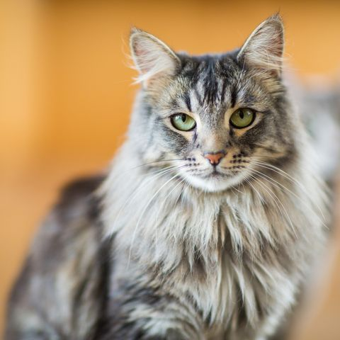 cats-that-like-water_Maine Coon