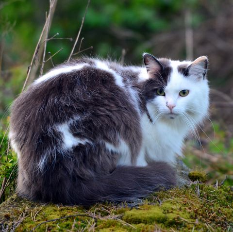 cats-that-like-water_Norwegian Forest Cat