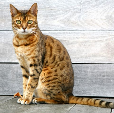 cats that look like tigers - bengal