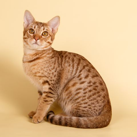 cats that look like tigers - oricat