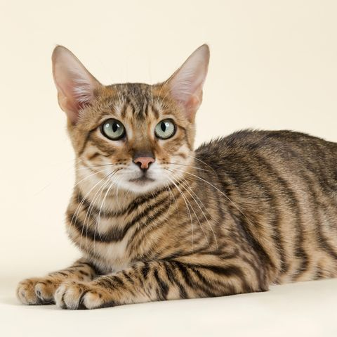 cats that look like tigers - toyger