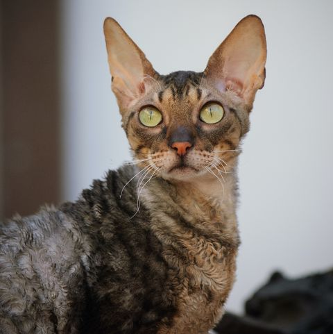 cats-that-stay-small-cornish-rex