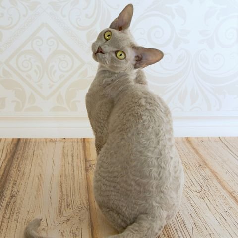 cats-that-stay-small-devon-rex