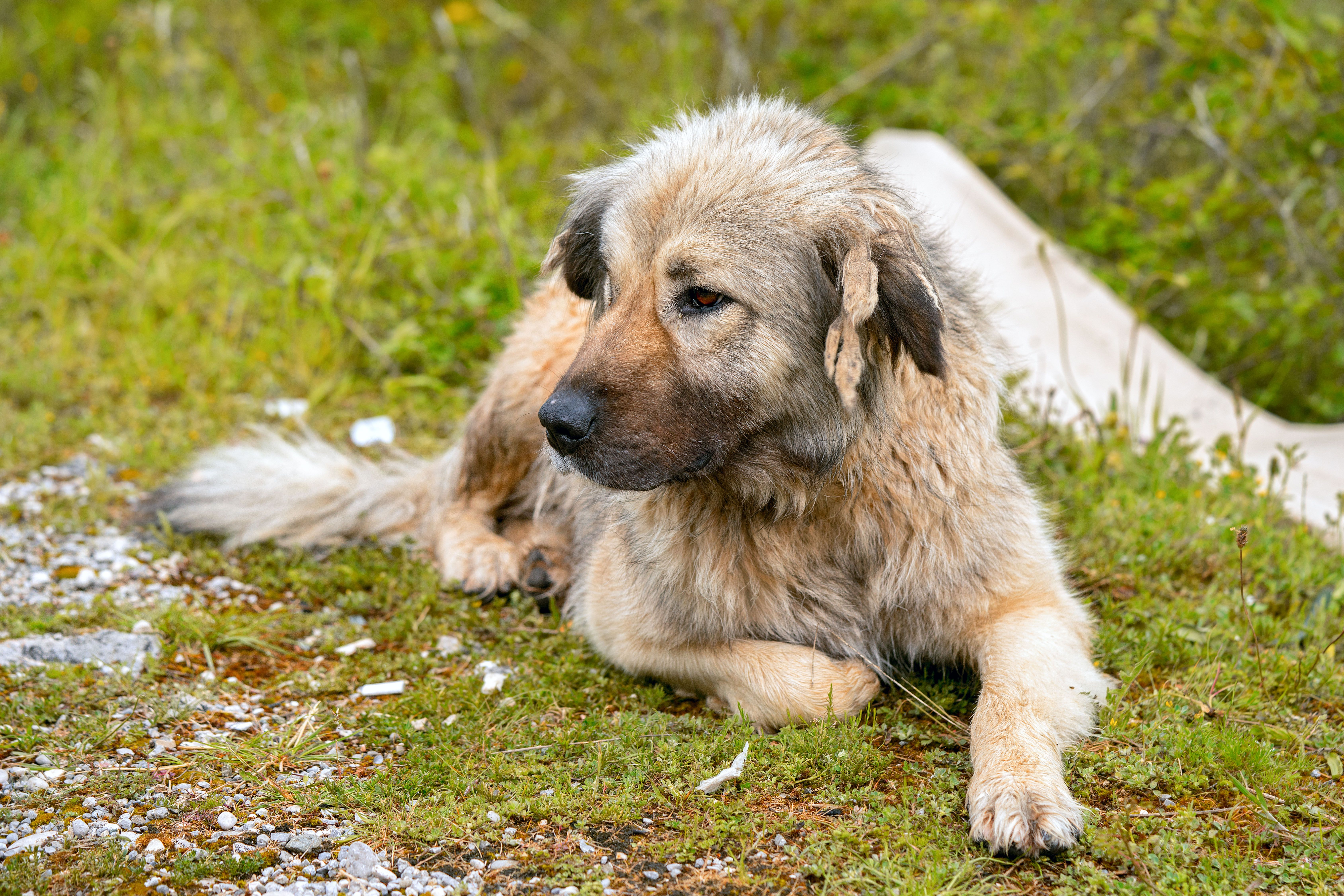13 Best Guard Dogs to Protect Your Home - Top Guard Dog Breeds