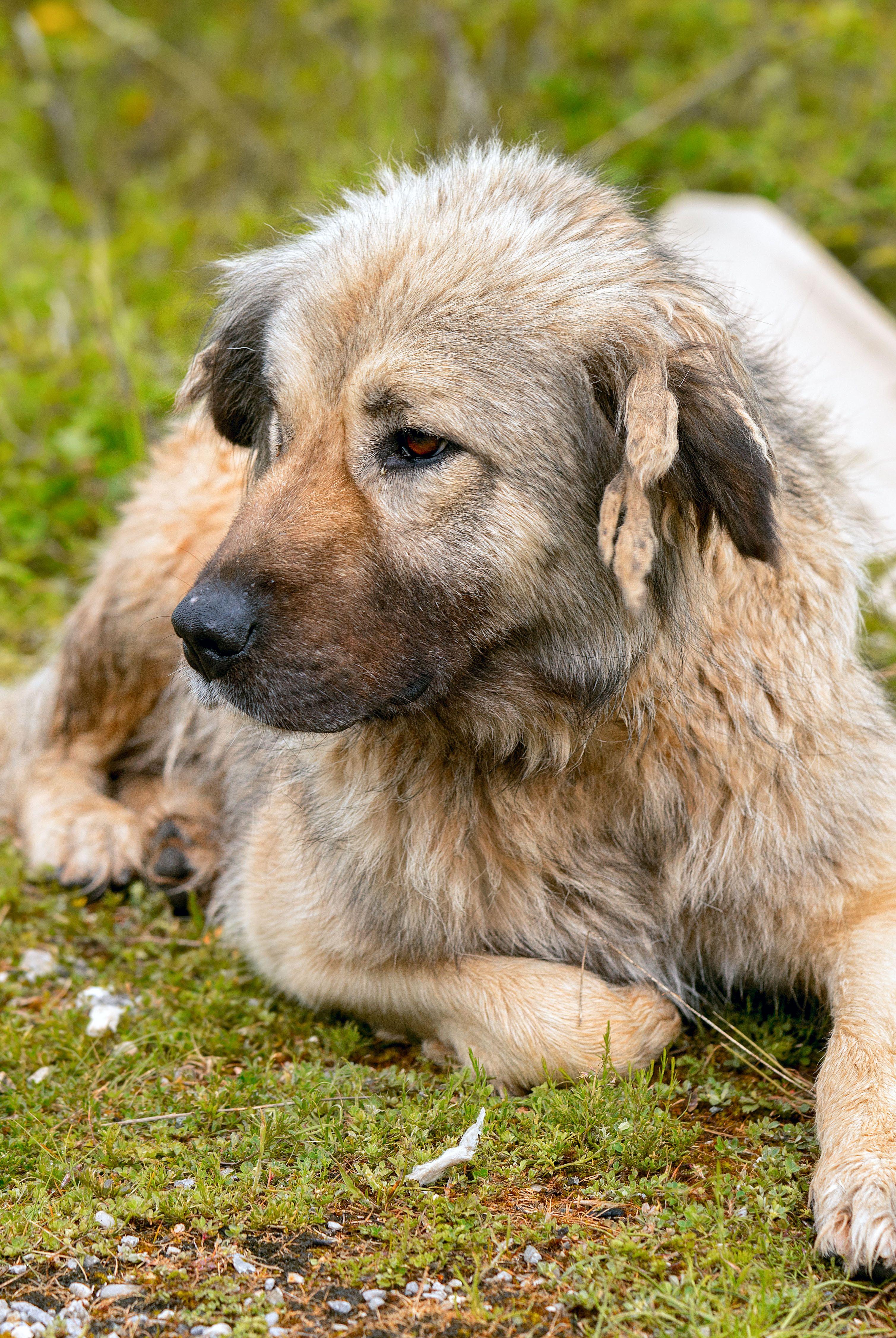 Кавказская овчарка Эти массивные собаки точно знают, как реагировать, если они чувствуют угрозу вашему дому или членам семьи, поэтому не стоит недооценивать их пушистость. Кавказские овчарки - отличный вариант, если у вас есть дети и другие животные, потому что они любят и заботятся о своей семье.