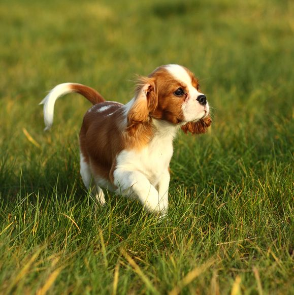 8 dog breeds most likely to carry disease causing genetic variants