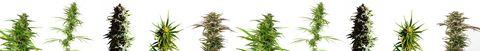 CBD plants