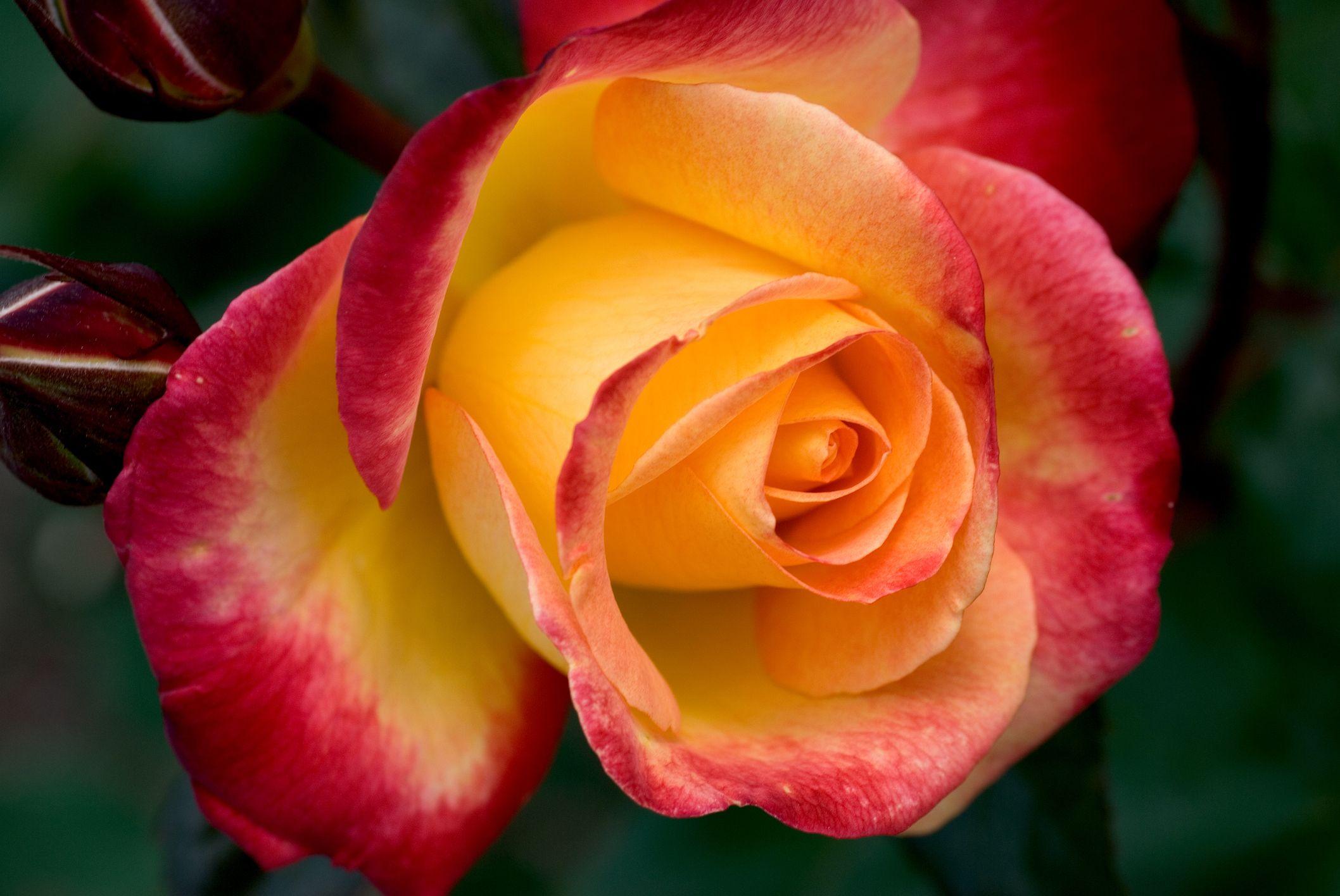 κέντρο ενός ροζ και κίτρινου τριαντάφυλλου
