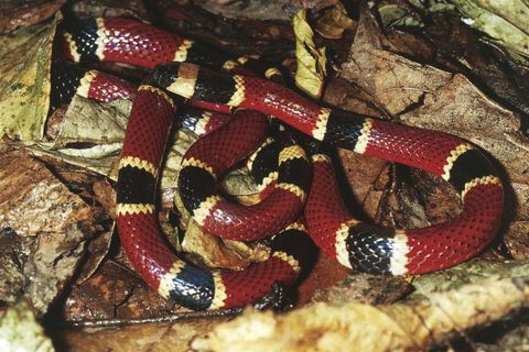 Central American coral snake...