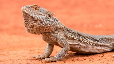 central bearded dragon pogona vittticeps