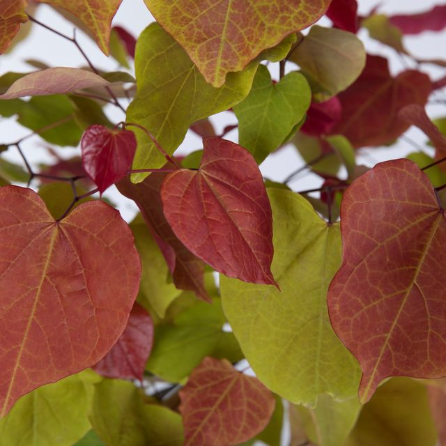 cercis canadensis eternal flame shortlisted for chelsea plant of the year rhs chelsea flower show 2021