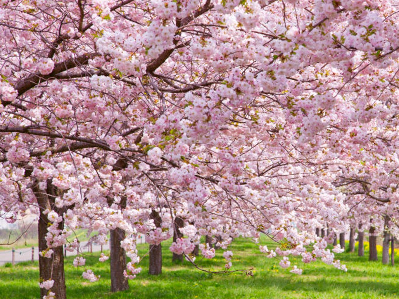 Cerezos En Flor 16 Curiosidades Sobre El Cerezo En Flor