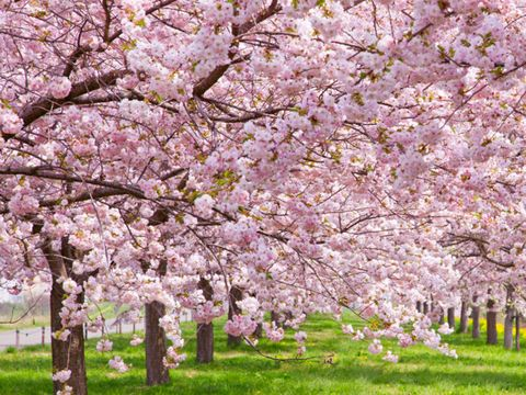 Flower, Blossom, Tree, Spring, Plant, Cherry blossom, Branch, Woody plant, Botany, Flowering plant,