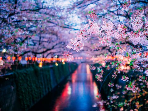 Flower, Tree, Blossom, Spring, Cherry blossom, Plant, Branch, Woody plant, Sky, Night,