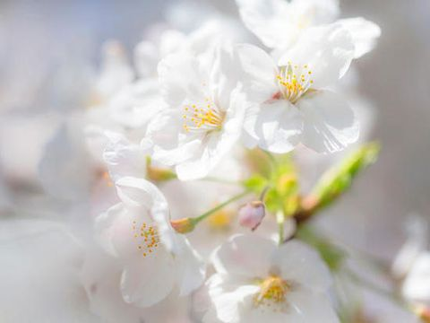 Cerezos en flor - 16 curiosidades sobre el cerezo en flor
