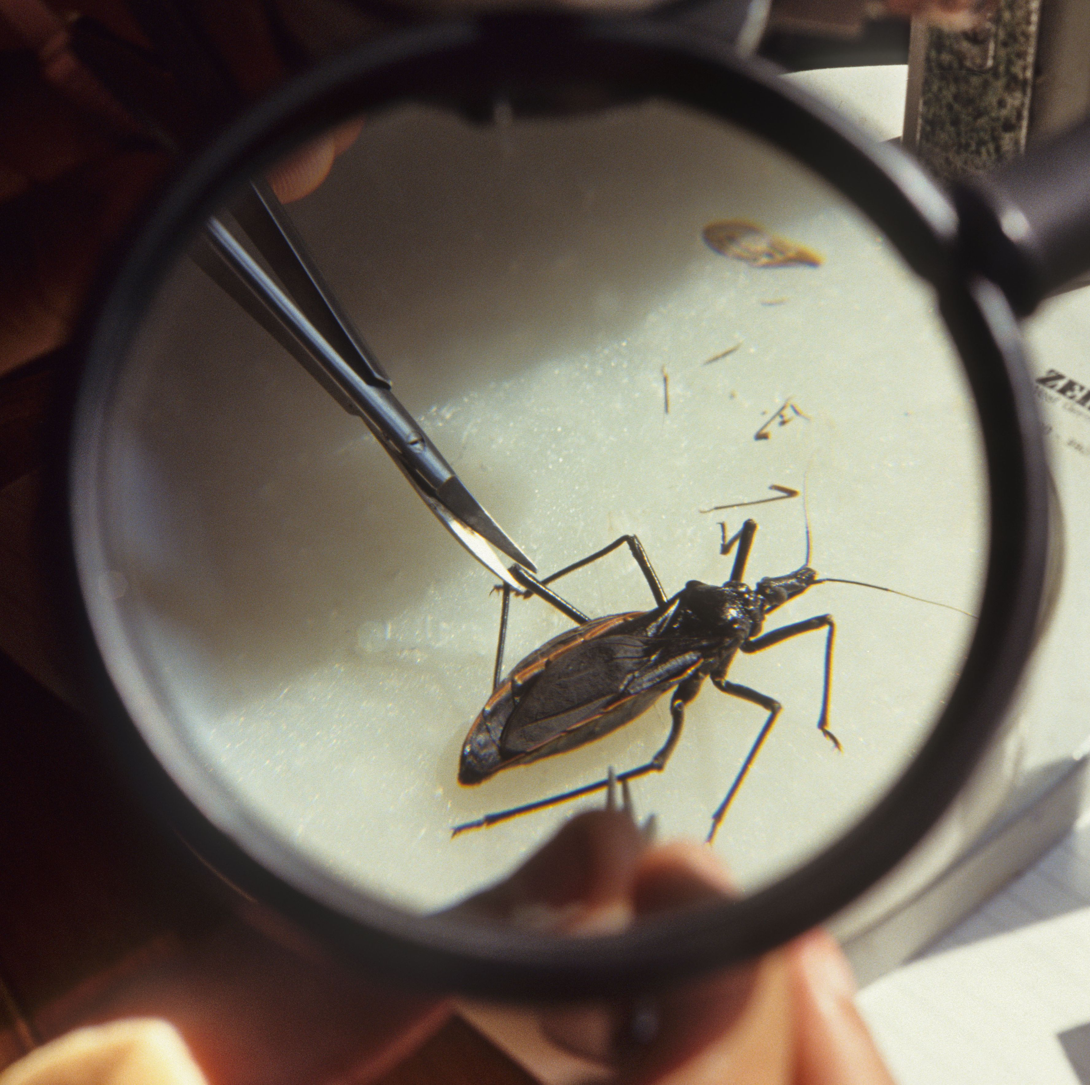 Blood-Sucking Kissing Bug Bites Girl in Delaware, Spotted Throughout U.S.