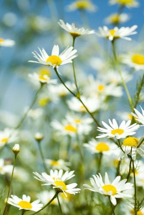 Chamomile best healing plants