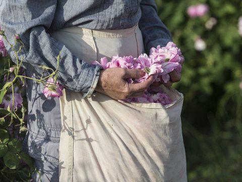 Petal, Purple, Pink, Lavender, Violet, Shrub, Annual plant, Floral design, Rose order, Day dress,