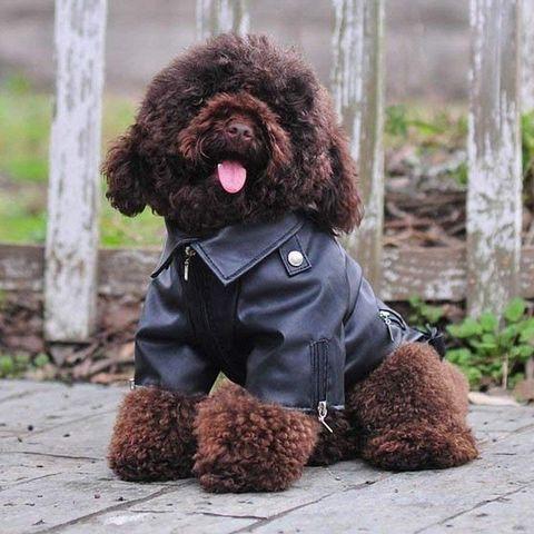 Perro con chaqueta biker de polipiel
