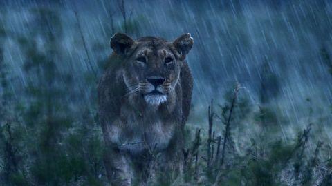 Charm lioness Dynasties photo