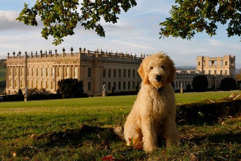 Dog, Mammal, Vertebrate, Canidae, Dog breed, Carnivore, Goldendoodle, Terrier, Companion dog, Grass,