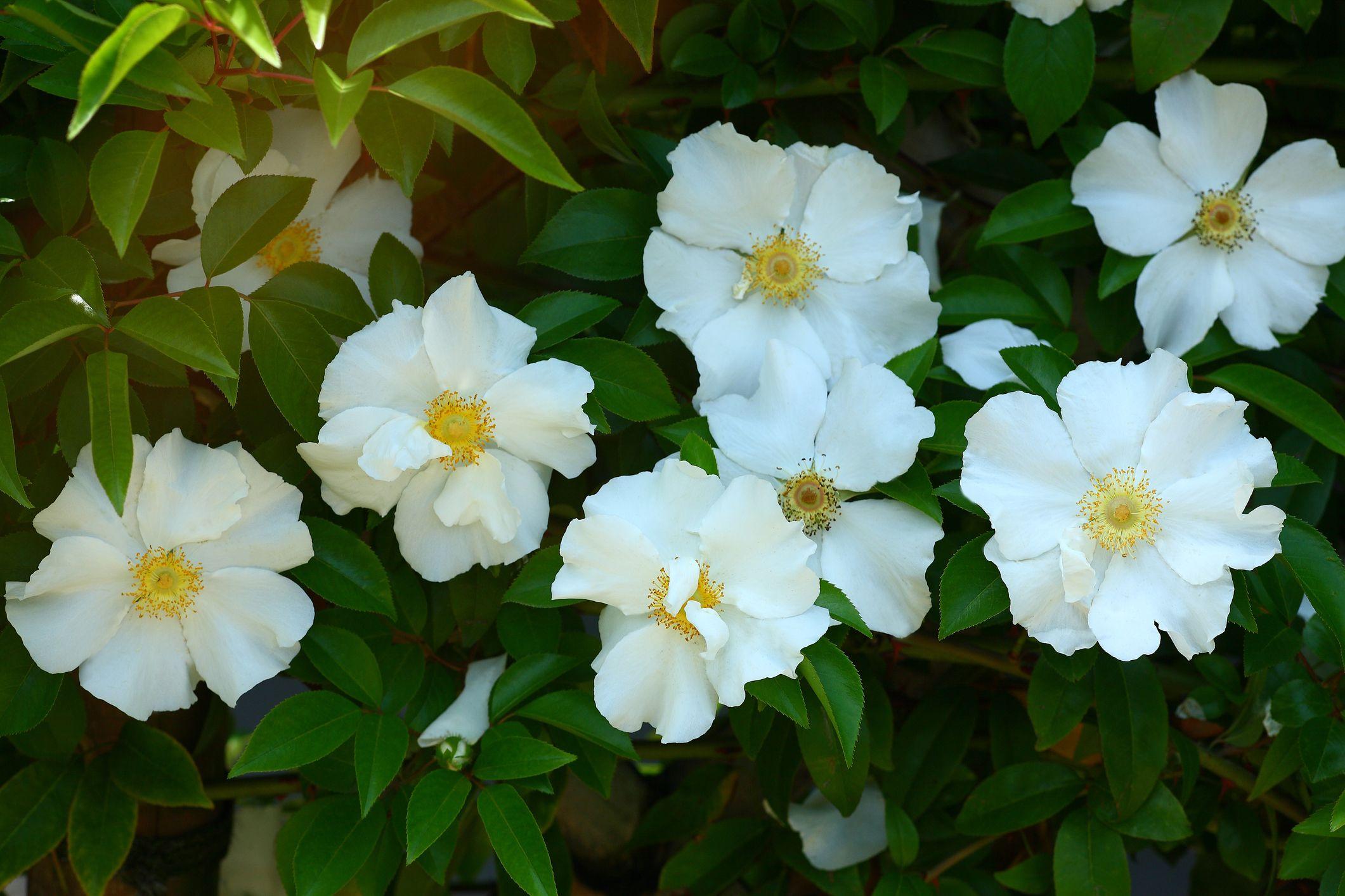 26. Cherokee Rose - Georgia