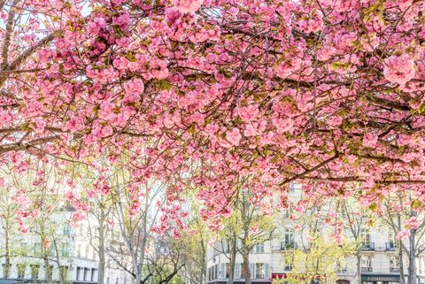 Cherry Blossom Canopy in Paris