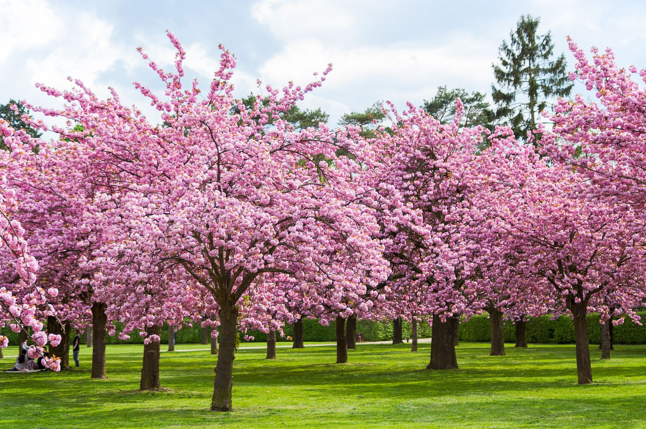 25 Cherry Blossoms Facts Things You Didn T Know About Cherry