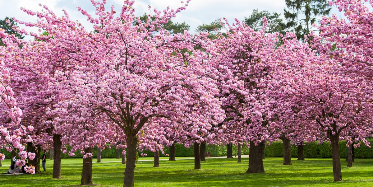 25 Cherry Blossoms Facts - Things You Didn't Know About Cherry Blossom Trees