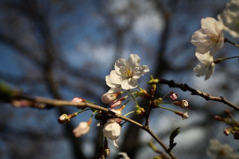 Cherry Blossom Season Arrives In Tokyo