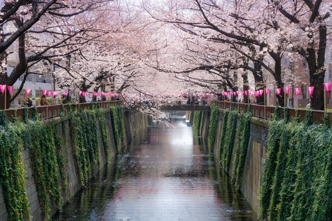 12 unusual things you didn't know about Japanese cherry blossom