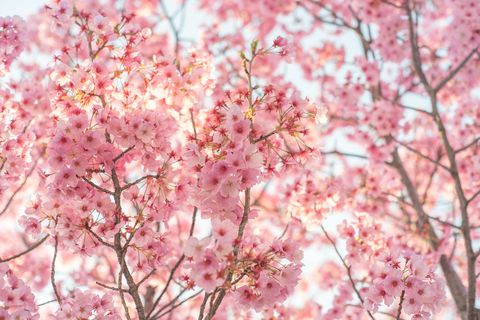 pink flowering cherry blossom tree