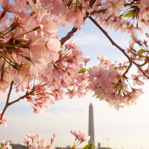 Washington D C S Cherry Blossom Peak Bloom 2019 Details