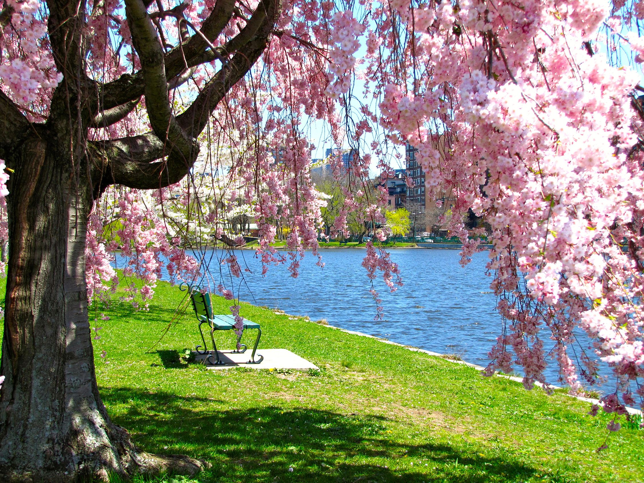 20 Cherry Blossom Tree Facts Things You Didn T Know