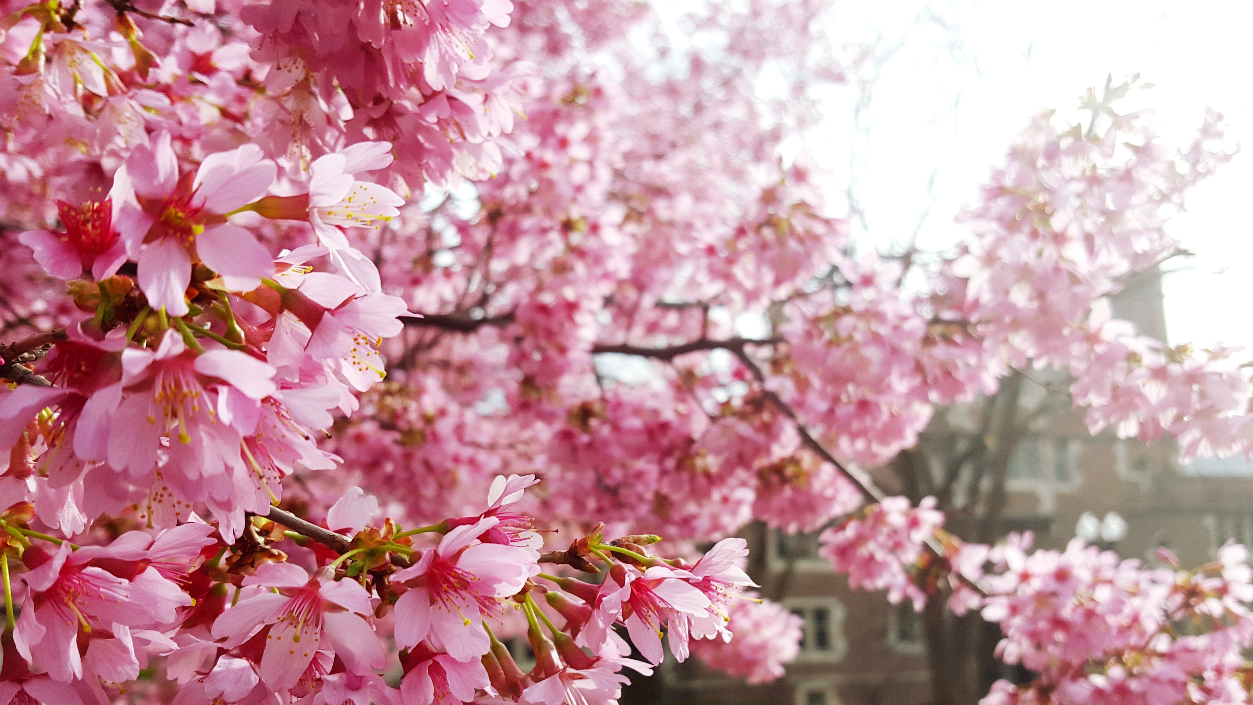 651ad7305093e Best Cherry Blossom Cities In The World—Where to See Cherry Blossoms